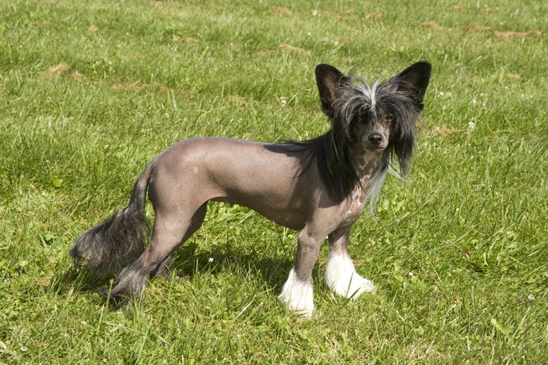 Kaynya Chinese Crested